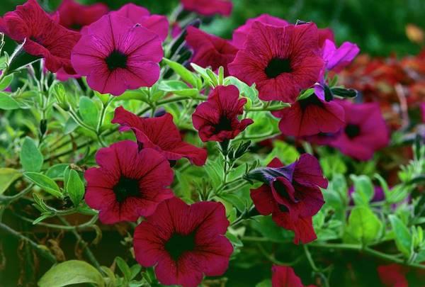 Petunias Photograph - Petunia Purple Wave by Adrian Thomas/science Photo Library