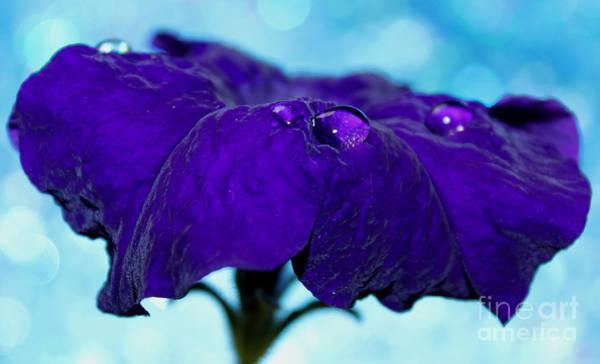 Petunias Photograph - Petunia Royalty by Krissy Katsimbras