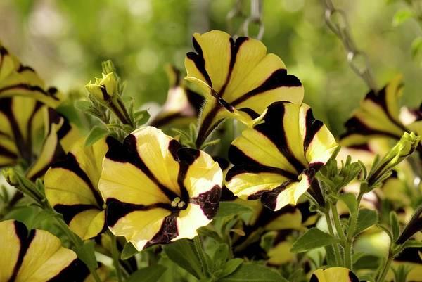 Petunias Photograph - Petunia 'special Bee' by Adrian Thomas