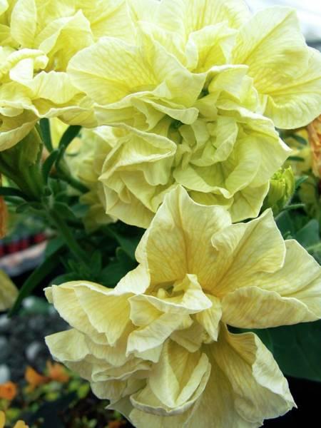 Petunias Photograph - Petunia 'susanna' by Ian Gowland/science Photo Library