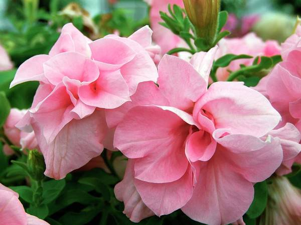 Petunias Photograph - Petunia 'victoria' by Ian Gowland/science Photo Library