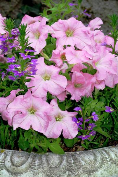Wall Art - Photograph - Petunia X Hybrida 'pink Lady' by Brian Gadsby/science Photo Library