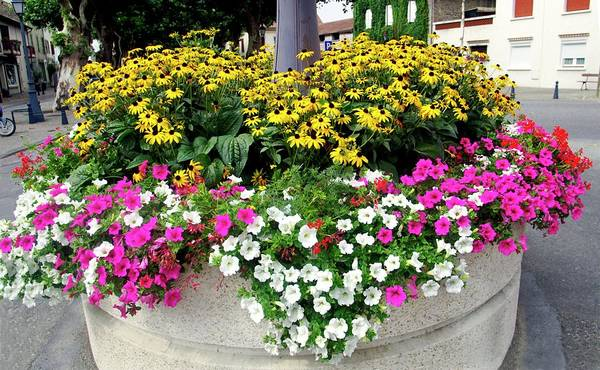 Petunias Photograph - 'petunias by Brian Gadsby/science Photo Library