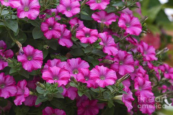 Photograph - Petunias by Jill Lang