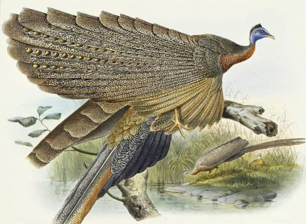Wall Art - Painting - Phadianidae.  Argusianus Grayli by Daniel Girard Elliot