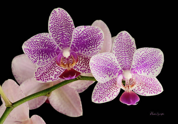 Photograph - Phal by Vickie Szumigala