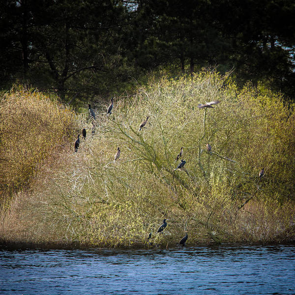 Photograph - Phalacrocorax Carbo by Edgar Laureano