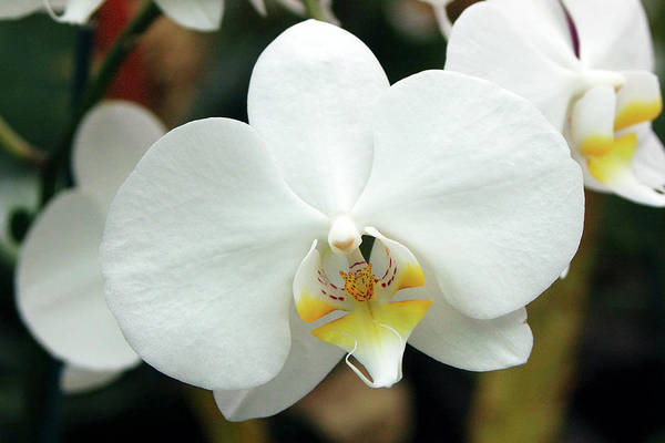 Breeze Photograph - Phalaenopsis 'cool Breeze' by Neil Joy/science Photo Library