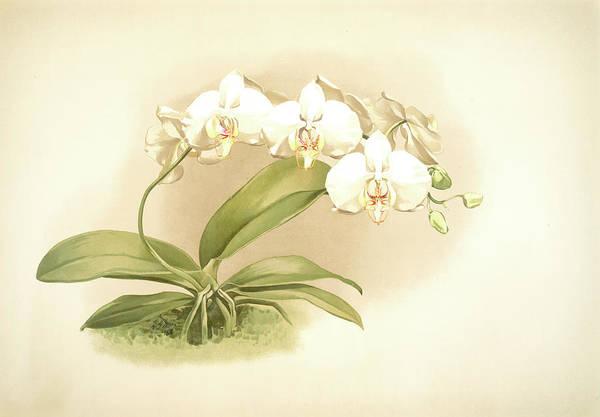 Wall Art - Drawing - Phalaenopsis Grandiflora Aurea, Sander by Artokoloro