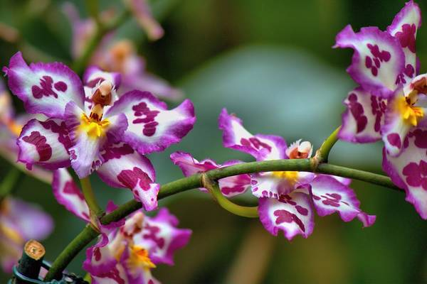 Photograph - Phalaenopsis-may Be by Carol Montoya