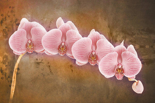 Photograph - Phalaenopsis Orchid Art Five by Bob Coates