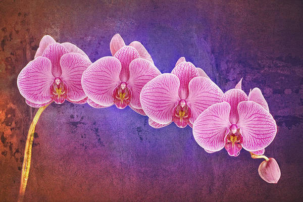 Photograph - Phalaenopsis Orchid Art Four by Bob Coates