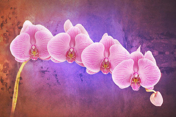 Photograph - Phalaenopsis Orchid Art Two by Bob Coates