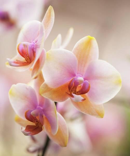 Wall Art - Photograph - Phalaenopsis Orchid Dragon Tree Sara Beauty 'maui Coral' by Maria Mosolova/science Photo Library
