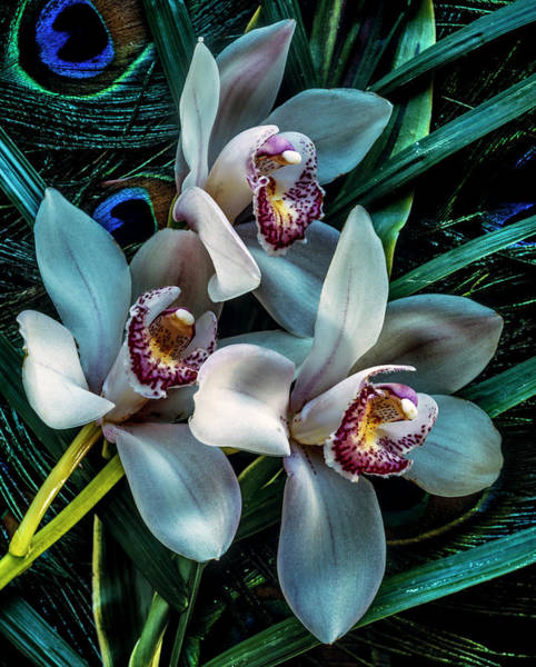 Photograph - Phalaenopsis Orchid by Johnandersonphoto