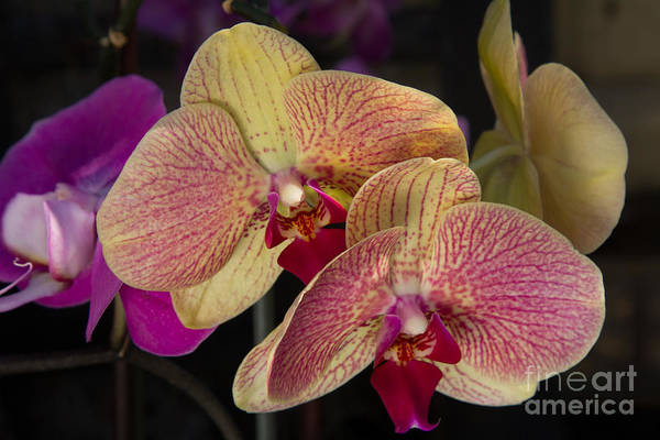 Photograph - Phalaenopsis Orchids 4 by Chris Scroggins