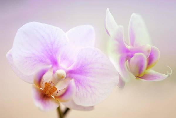 Moth Photograph - Phalaenopsis 'sweetheart' Orchid Flowers by Maria Mosolova