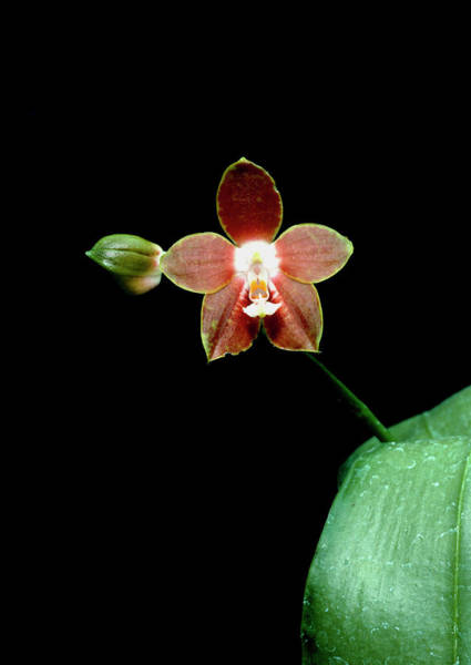 Horticulture Photograph - Phalaenopsis Venosa by Geoff Kidd/science Photo Library