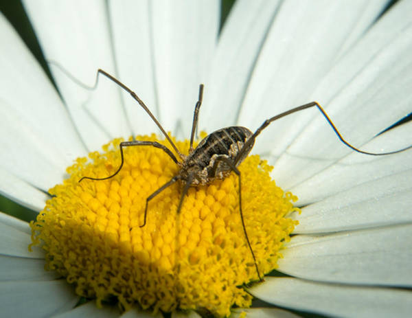 Harvestman Photograph - Phalangiid Looking For Food by Douglas Barnett