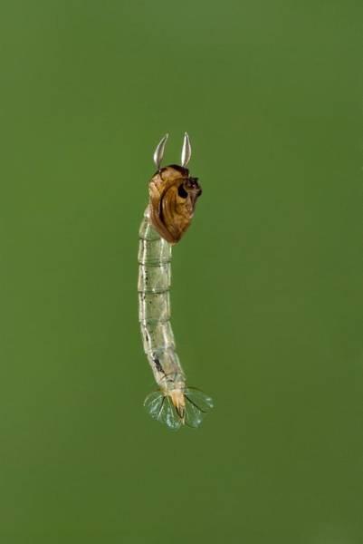 Thru Photograph - Phantom Midge Larva by Science Photo Library