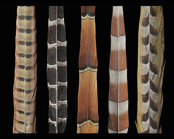 Wall Art - Mixed Media - Pheasant Tail Composite by Chris Maynard