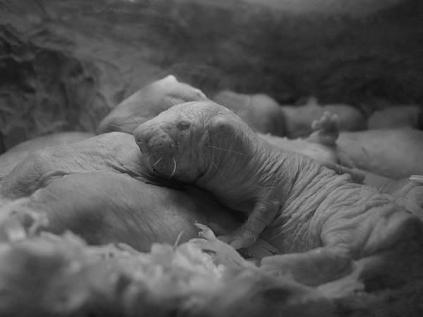 Photograph - Philadelphia Zoo - Naked Mole Rat by Richard Reeve