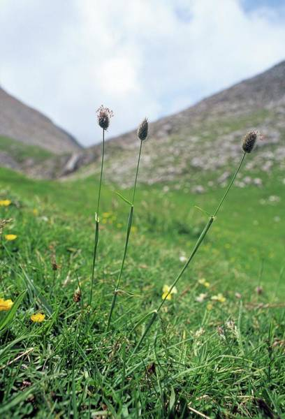 Wall Art - Photograph - Phleum Alpinum by Bruno Petriglia/science Photo Library