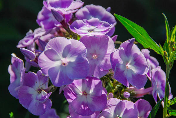 Photograph - Phlox 7128 by Guy Whiteley