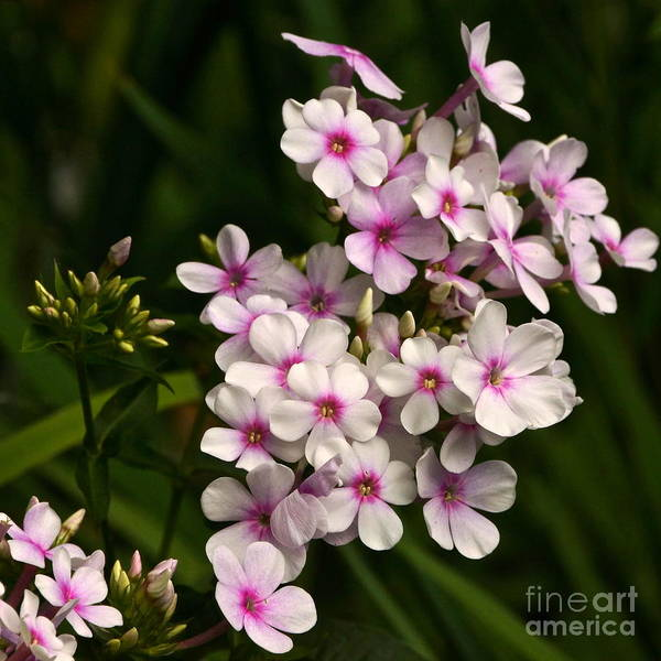 Photograph - Phlox A North American Native by Byron Varvarigos