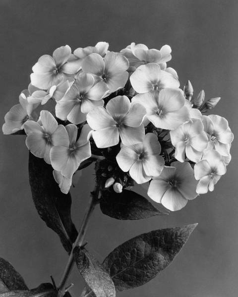 Plant Photograph - Phlox Blossoms by J. Horace McFarland