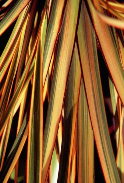 New Leaf Photograph - Phormium 'golden Ray' by Mrs W D Monks/science Photo Library