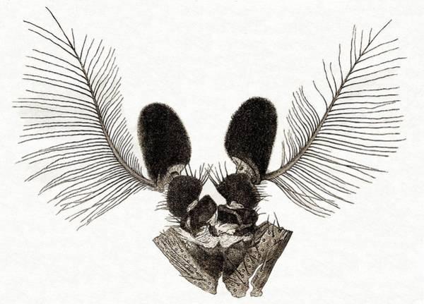 Midge Photograph - Photomicrograph Of Midge Antennae by Sheila Terry