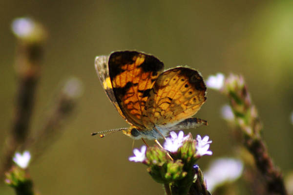 Photograph - Phyciodes by Kim Pate