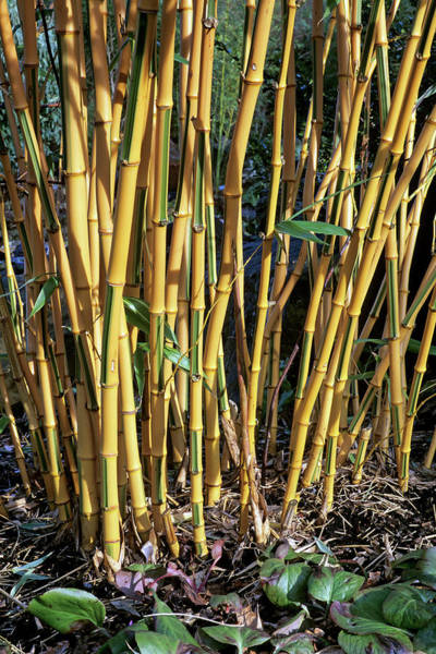 Bamboo Photograph - Phyllostachys Bambusoides 'castillonii' by Geoff Kidd/science Photo Library