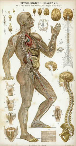 Nerves Drawing - Physiological Diagram Of The  Brain by Mary Evans Picture Library