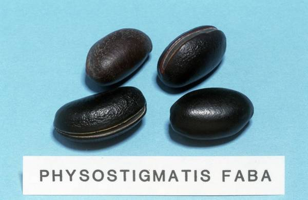 Pharmaceutical Wall Art - Photograph - Physostigmatis Faba Sample by Science Photo Library