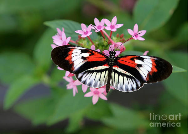 Piano Key Butterfly On Pink Penta Art Print