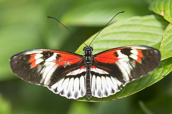Photograph - Piano Key Butterfly Spread by Sean Allen
