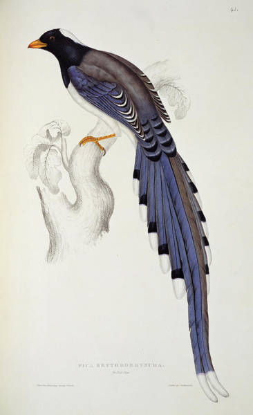 Wall Art - Painting - Pica Erythrorhyncha, From A Century Of Birds From The Himalaya Mountains by Elizabeth Gould