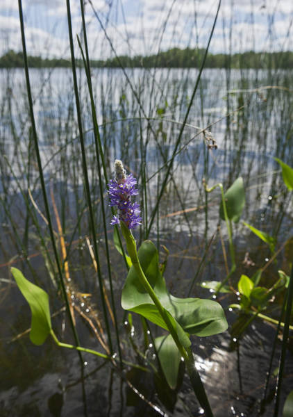 Photograph - Pickerelweed Along The Lake by Gary Eason