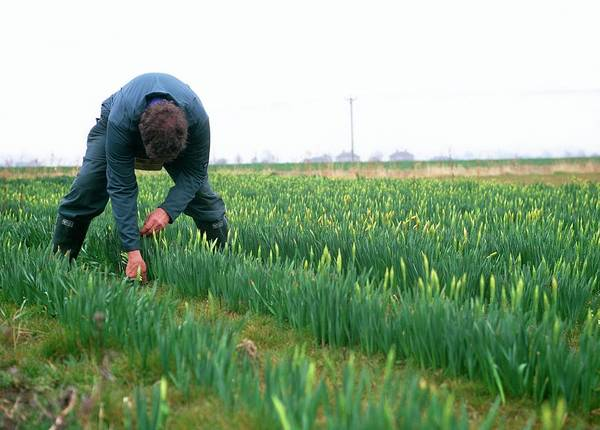 Row Crops Photograph - Picking Daffodils (narcissus 'charlton') by Rachel Warne/science Photo Library