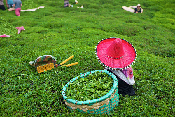 Manual Focus Wall Art - Photograph - Picking Tea Leaves by Uygargeographic