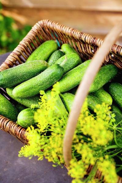 Cucurbits Photograph - Pickling Cucumbers And Dill In A Basket by Eising Studio - Food Photo and Video