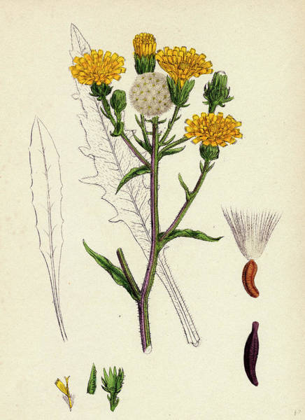 Weeds Drawing - Picris Hieracioides Hawk-weed Ox-tongue by English School