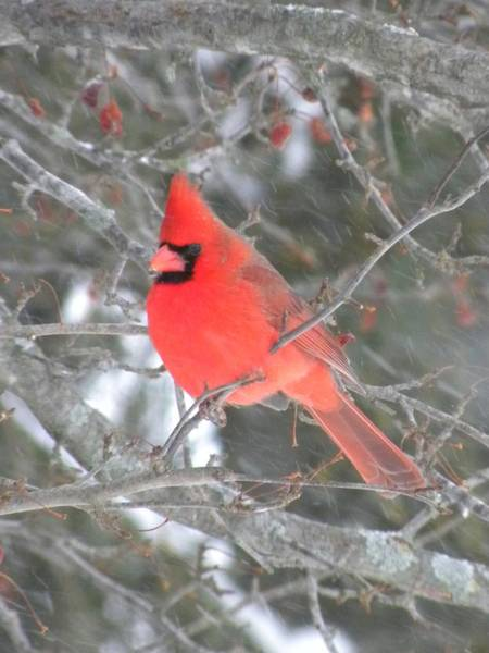 Photograph - Picture Perfect Cardinal by Peggy  McDonald