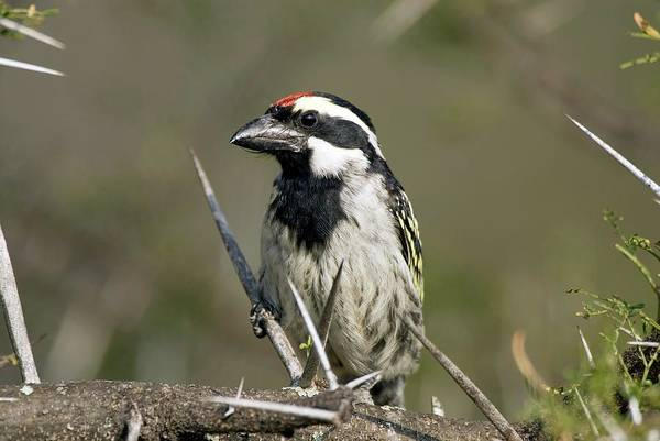 Ramphastidae Photograph - Pied Barbet by Peter Chadwick/science Photo Library