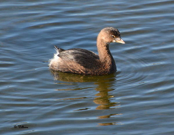Photograph - Pied Billed Grebe by Dan Williams