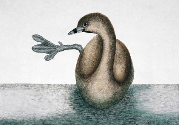 North London Wall Art - Photograph - Pied-billed Grebe by Natural History Museum, London