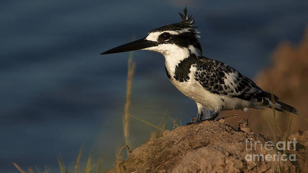 Photograph - Pied Kingfisher by Mareko Marciniak