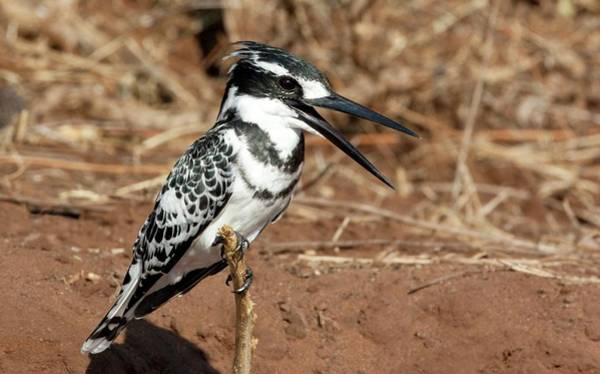 Kingfisher Photograph - Pied Kingfisher by Steve Allen/science Photo Library